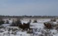 верблюды в снегу