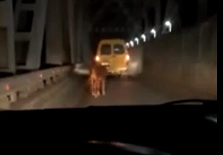 по Старому мосту перед машинами прогуливался теленок