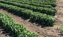 фермер выращивает киви и батат